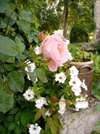 Des roses au printemps